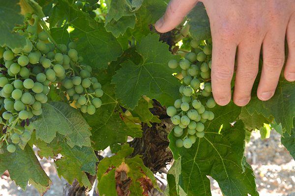 logo domaine viticole caussiniojouls